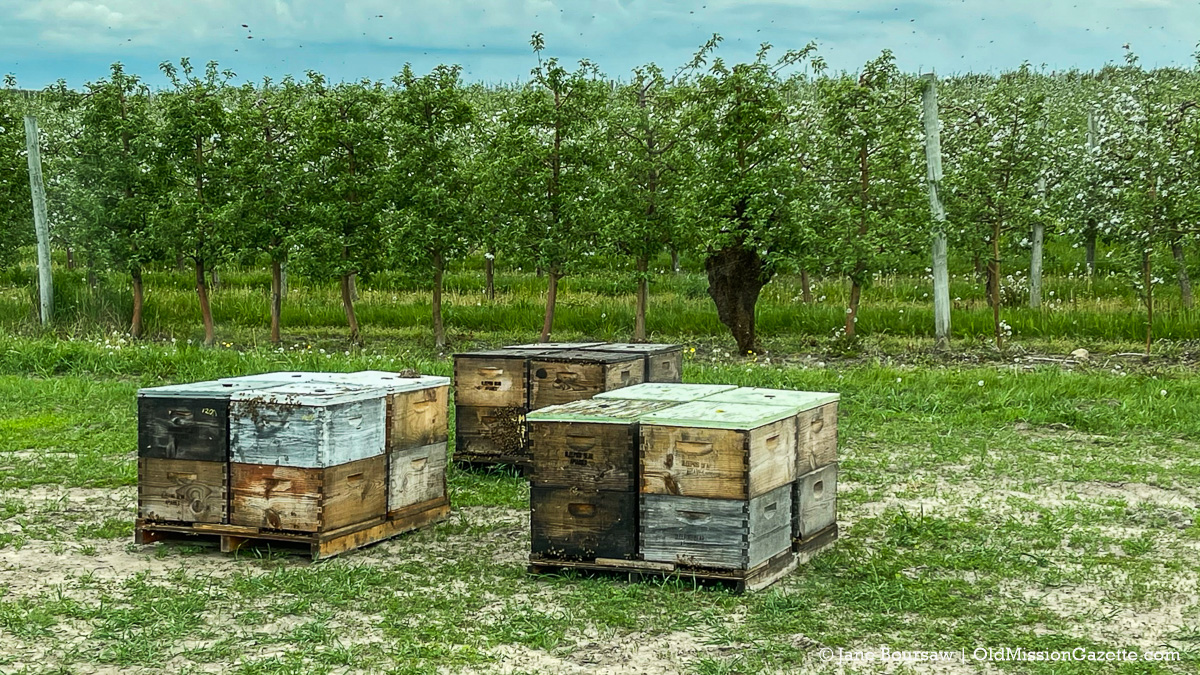 """Bee hives with a bee swarm in an apple tree on """"The Forty"""" at Johnson Farms, corner of Peninsula Drive and Kroupa Road 