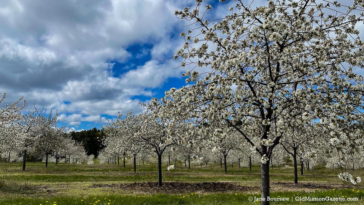 "Tart cherry blossoms on Ward Johnson's farm on Center Road near ""The Hogsback"" | Jane Boursaw Photo"