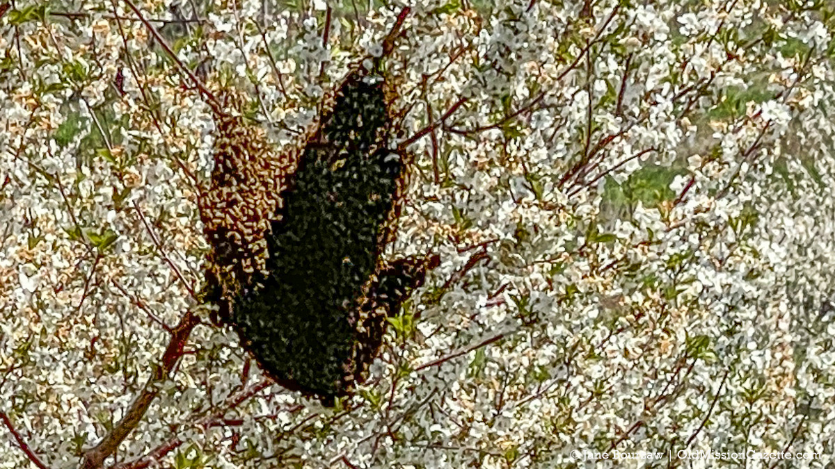 Bee swarm in a cherry tree at Johnson Farms on Center Road north of Mapleton | Jane Boursaw Photo