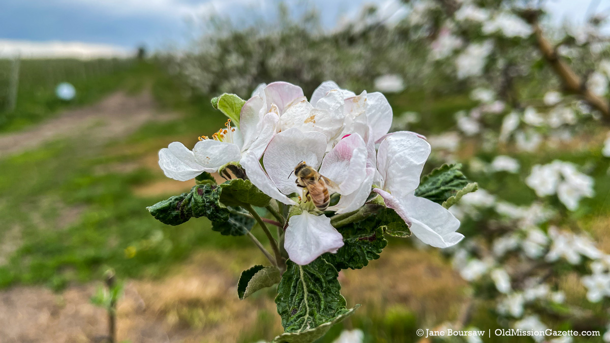 """Apple blossoms on """"The Forty"""" at Johnson Farms, corner of Peninsula Drive and Kroupa Road 