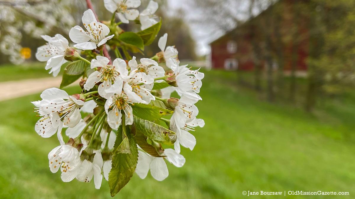 Sweet cherry blossoms on Johnson Farms | Jane Boursaw Photo