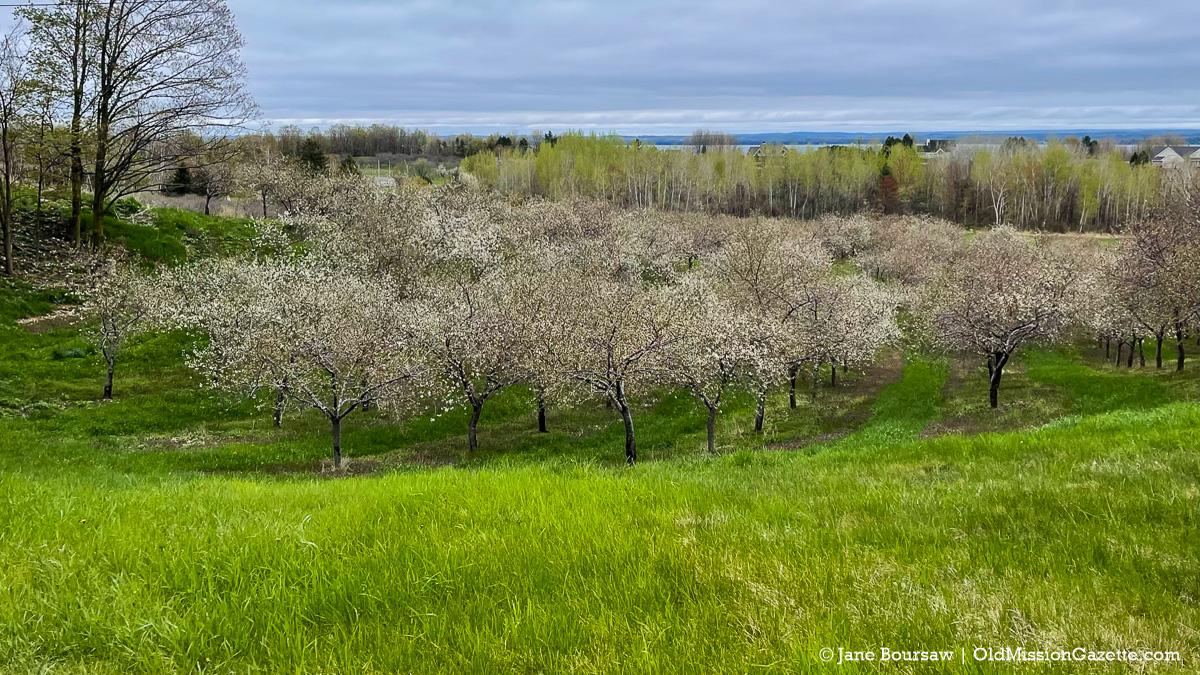 Tart cherry blossoms on Johnson Farms | Jane Boursaw Photo