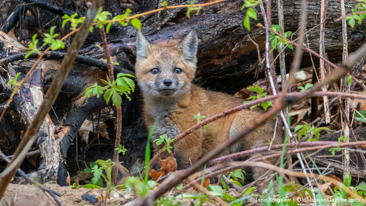 Young fox on Smokey Hollow Road on the Old Mission Peninsula | Jane Boursaw Photo