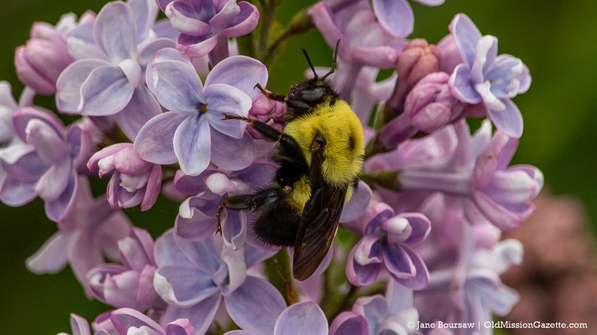 Lilacs on Johnson Farms; Corner of Peninsula Drive and Kroupa Road   Jane Boursaw Photo