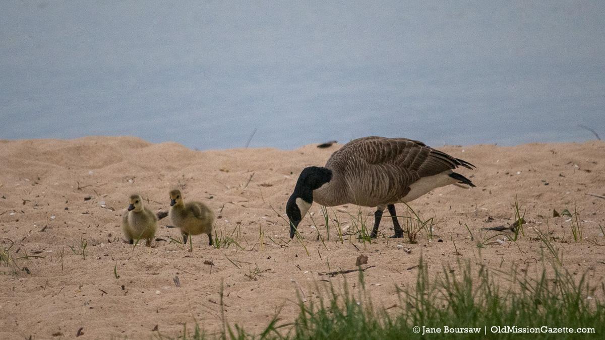 Baby geese at Haserot Beach   Jane Boursaw Photo
