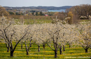 Sweet cherry blossoms on Carpenter Hill on the Old Mission Peninsula | Jane Boursaw Photo