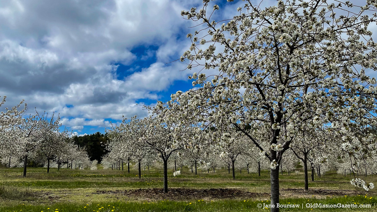 Tart Cherry Blossoms in Ward Johnson's Orchard on Center Road   Jane Boursaw Photo
