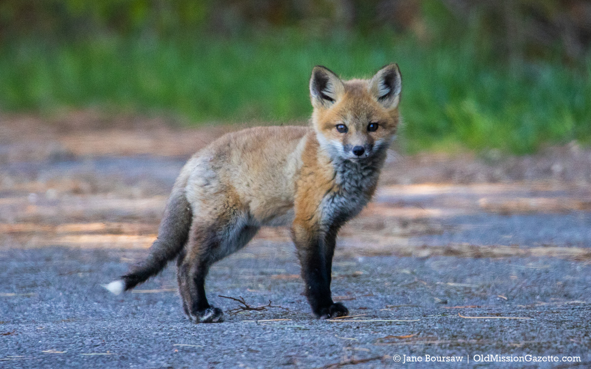 Baby fox in Old Mission   Jane Boursaw Photo