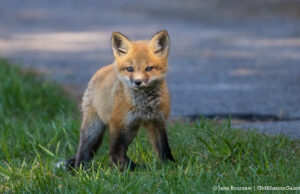 Young fox in Old Mission on the Old Mission Peninsula | Jane Boursaw Photo