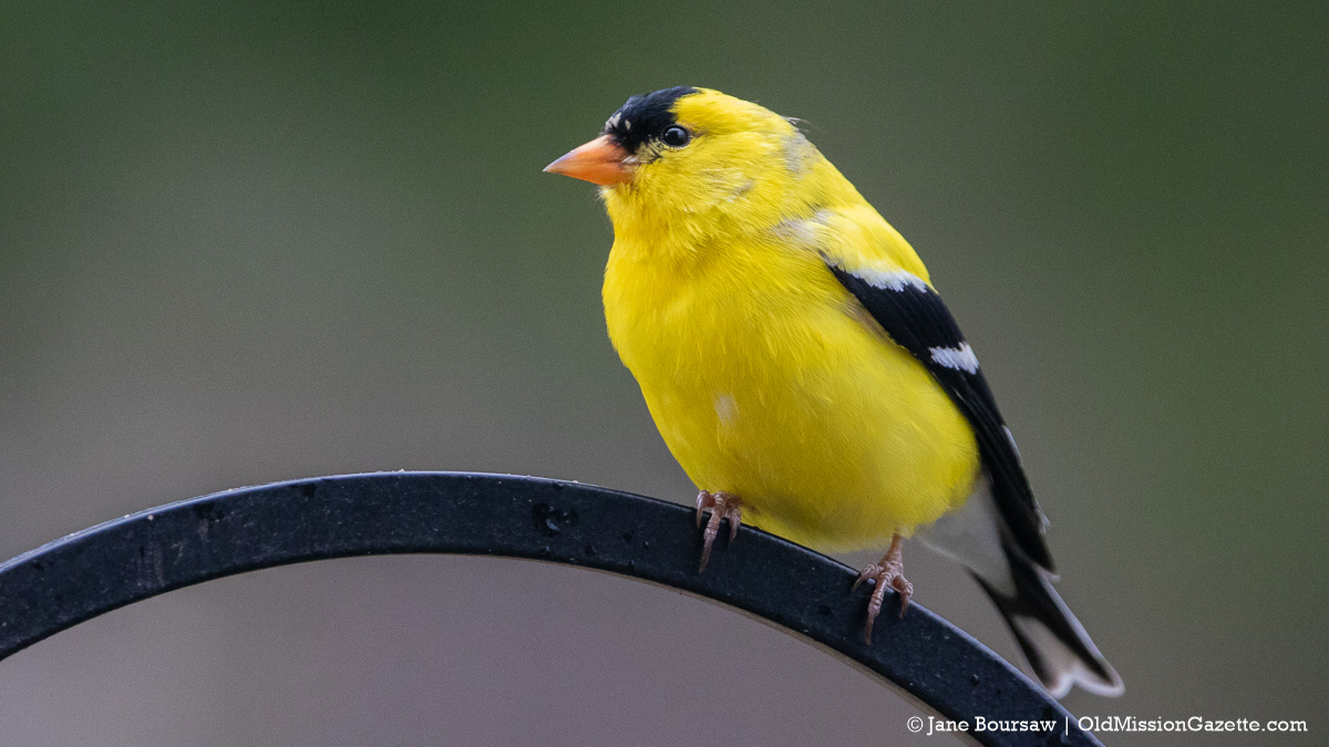 Goldfinch at Old Mission Gazette World Headquarters on Bluff Road   Jane Boursaw Photo