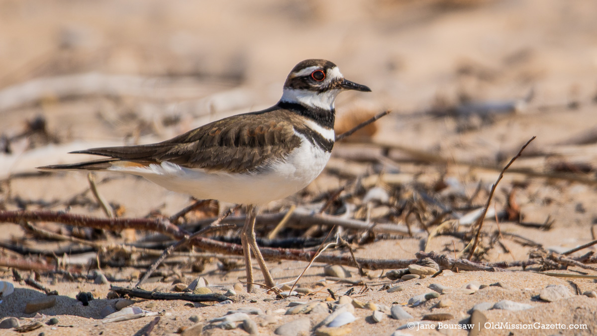 Killdeer at Kelley Park in Old Mission   Jane Boursaw Photo