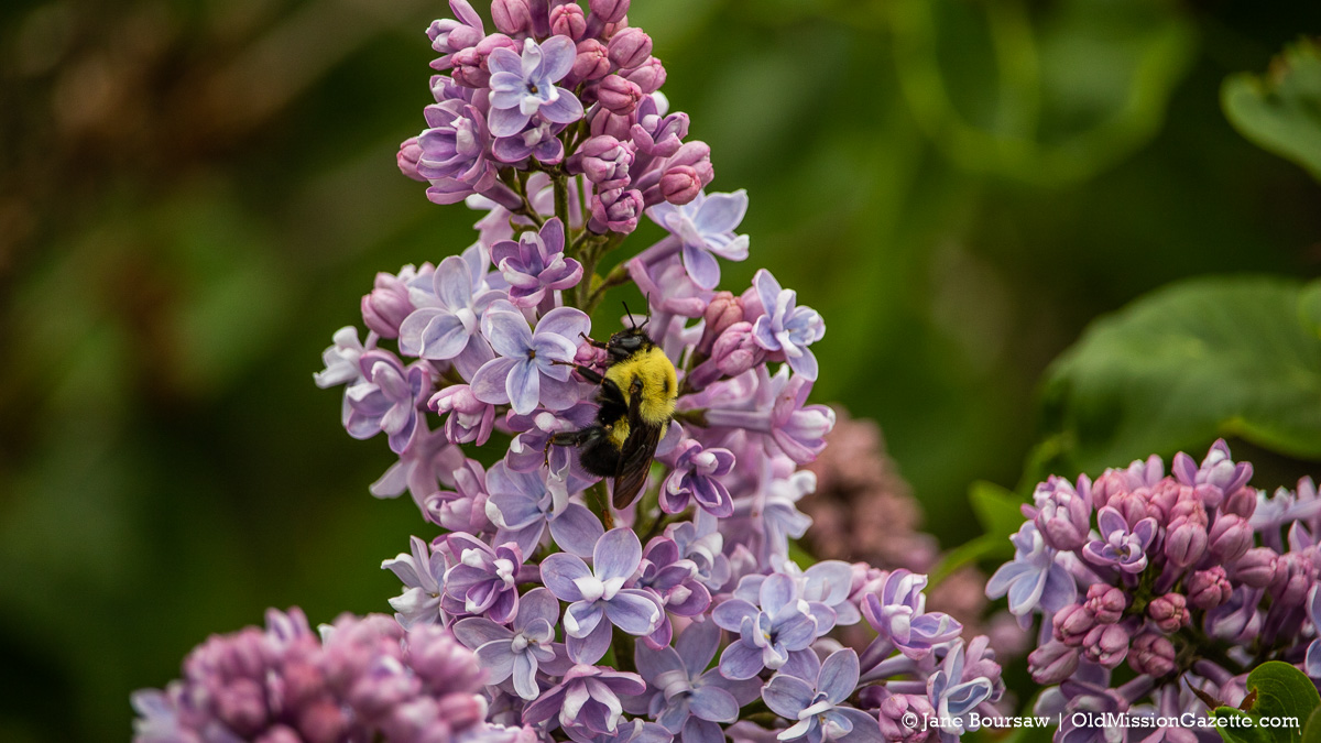 Lilacs at Jane's grandparents' house on the corner of Peninsula Drive and Kroupa Road | Jane Boursaw Photo