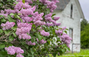 Lilacs at the old Wilson Farm on Montague Road | Jane Boursaw Photo