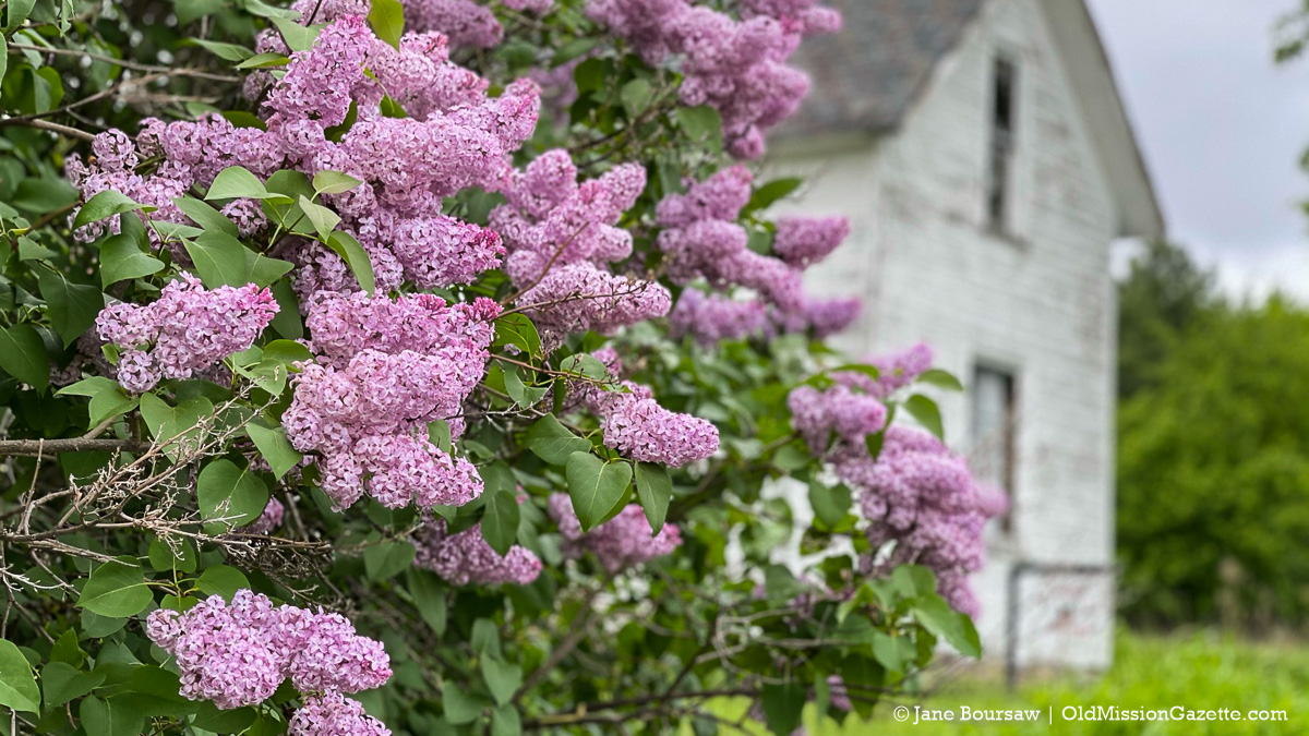 Helen Vogel's lilacs on Montague Road   Jane Boursaw Photo