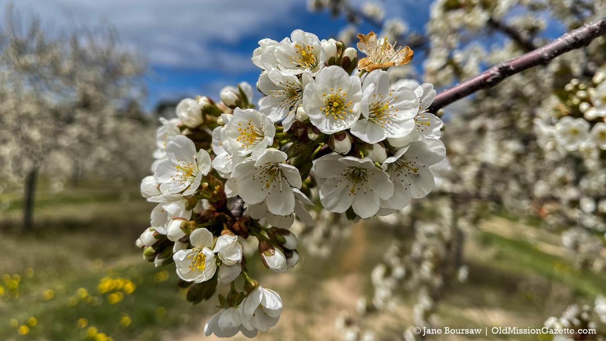 Tart Cherry Blossoms on Ward Johnson's farm on the Old Mission Peninsula | Jane Boursaw Photo