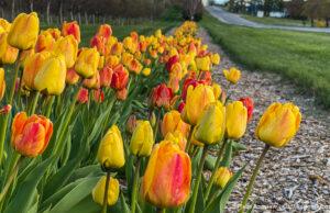 Bern Kroupa's tulips on Center Road near the Old Mission Tavern | Jane Boursaw Photo