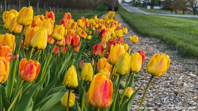 Bern Kroupa's tulips on Center Road near the Old Mission Tavern   Jane Boursaw Photo