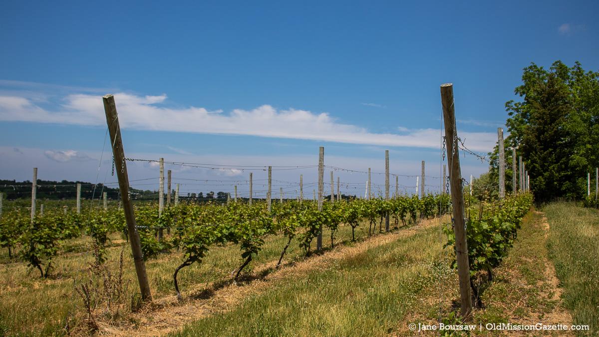 Grapevines on Ward Johnson's farm on the Old Mission Peninsula | Jane Boursaw Photo