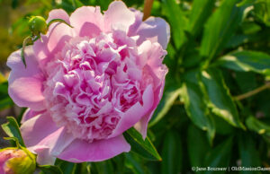Old Mission Flowers on the Old Mission Peninsula | Jane Boursaw Photo