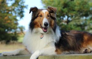 Pets of Old Mission Peninsula; Maverick, a sheltie/collie rescue | Paula Kelley Photo