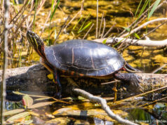 Turtles in Bagley Lake on the Old Mission Peninsula | Jane Boursaw Photo