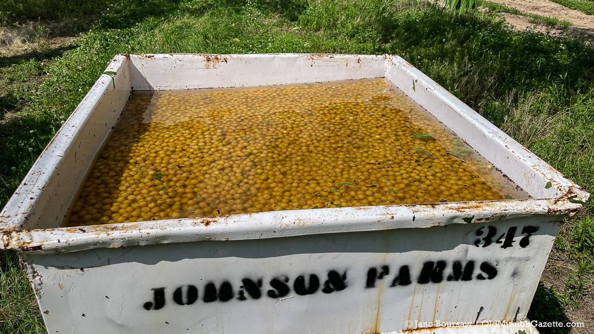 Light brine cherries at Johnson Farms | Jane Boursaw Photo