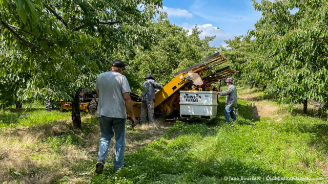 Shaking light brine cherries at Johnson Farms on the Old Mission Peninsula | Jane Boursaw Photo