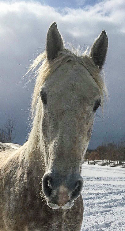 Irish, the Irish Draught Horse | Straebel Photo