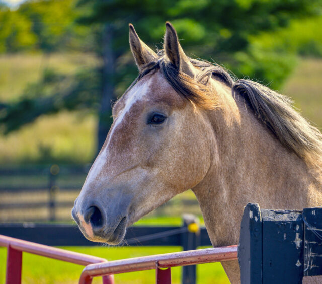 Irish, the Irish Draught Horse on the Old Mission Peninsula | Straebel Photo