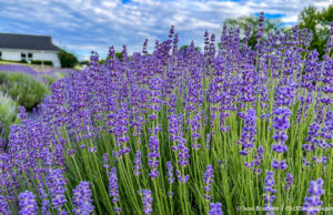 Lavender at Secret Garden at Brys Estate on the Old Mission Peninsula | Jane Boursaw Photo
