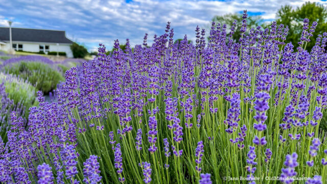 Lavender at Secret Garden at Brys Estate on the Old Mission Peninsula   Jane Boursaw Photo