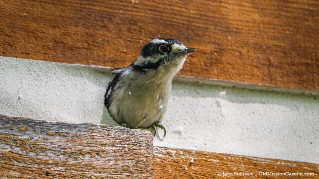 Bird making a nest in Tim and Jane's house | Jane Boursaw Photo