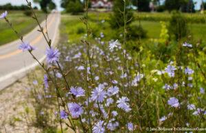 Chicory on Blue Water Road | Jane Boursaw Photo