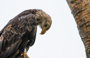 Eagle on Bluff Road on the Old Mission Peninsula | Jane Boursaw Photo