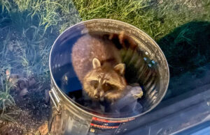 Raccoon Bandit in Jane's Bird Seed Can   Jane Boursaw Photo