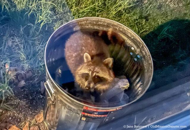 Raccoon Bandit in Jane's Bird Seed Can | Jane Boursaw Photo