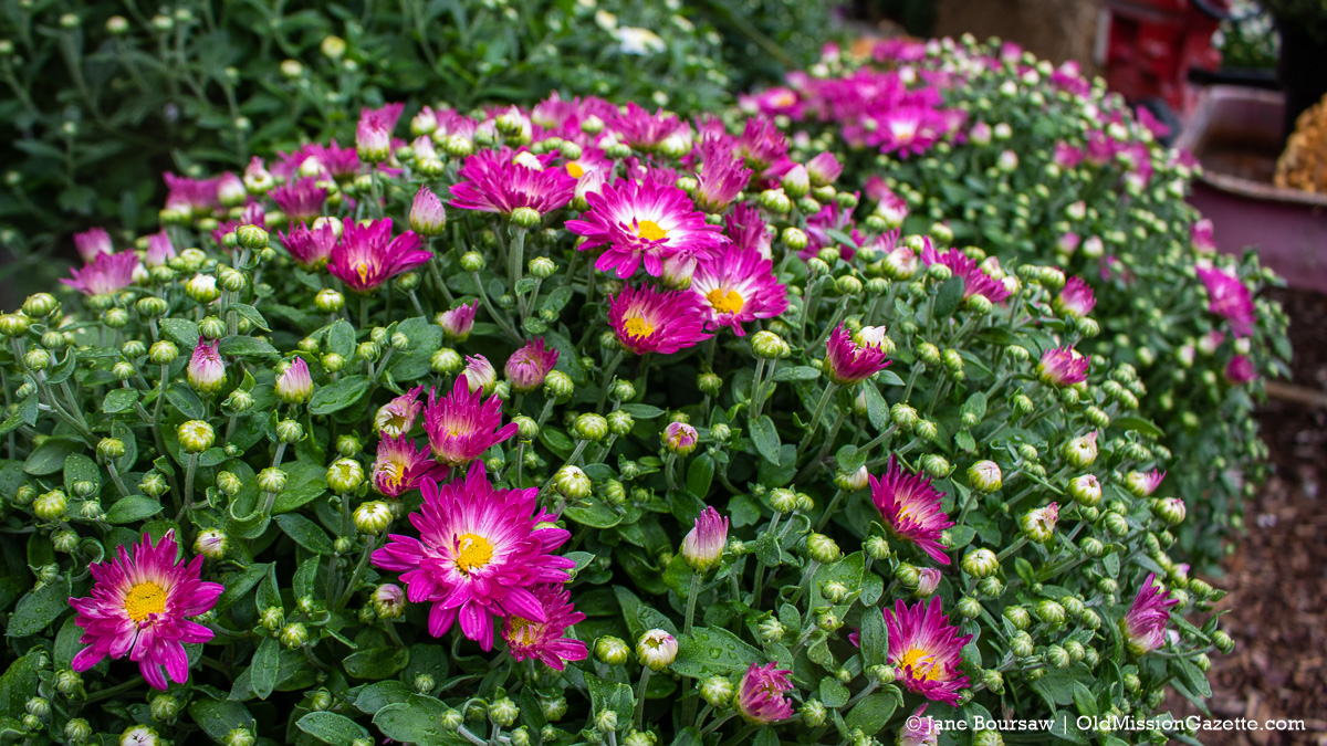 Mums at Little Fox Farm on the Old Mission Peninsula | Jane Boursaw Photo