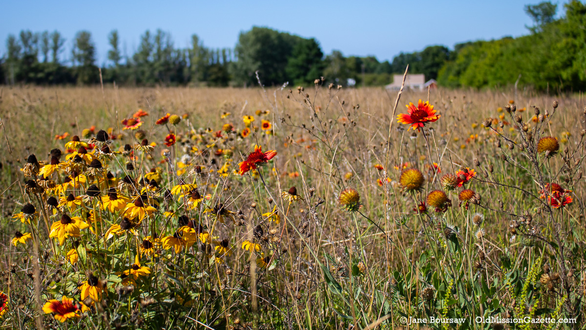 Manigold wildflowers on Center Road, looking north towards Swaney Road | Jane Boursaw Photo