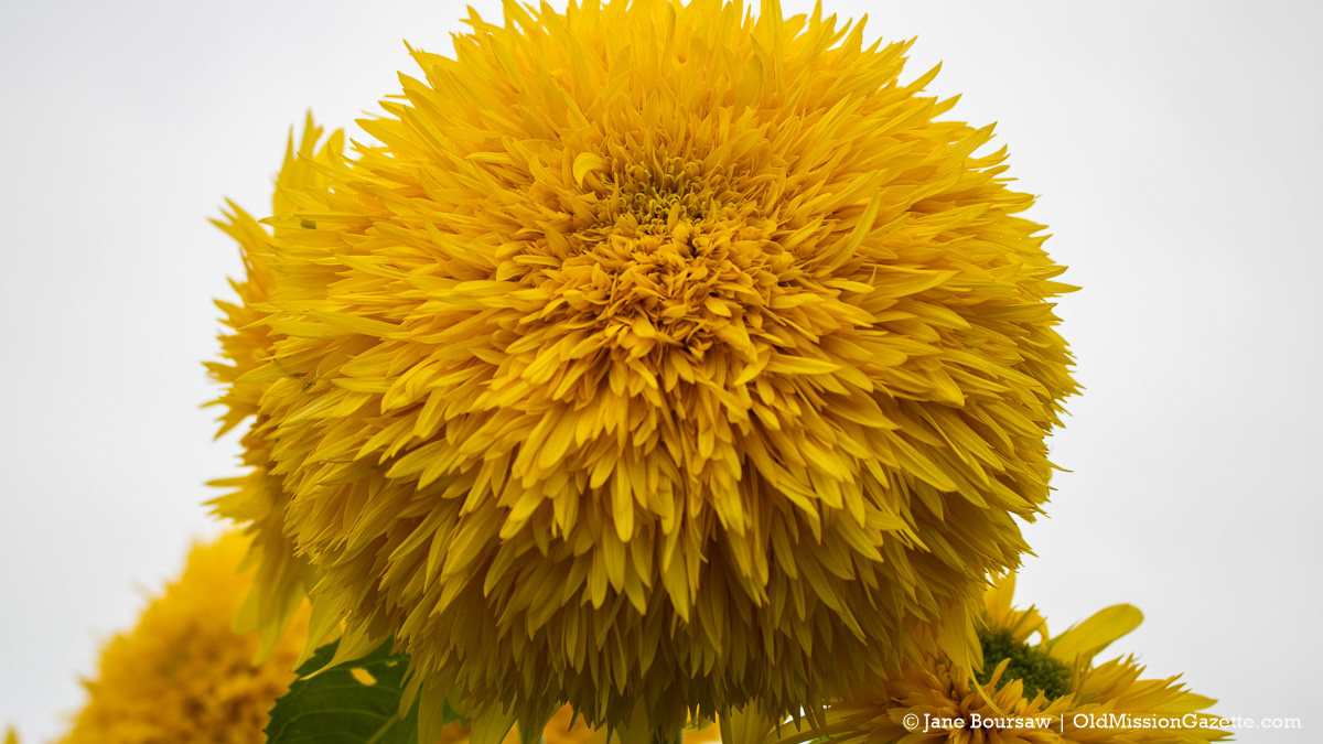 Teddy Bear Sunflowers at Old Mission Flowers on the Old Mission Peninsula | Jane Boursaw Photo