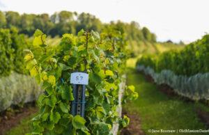 Winery Lawsuit - Vineyard on Old Mission Peninsula | Jane Boursaw Photo