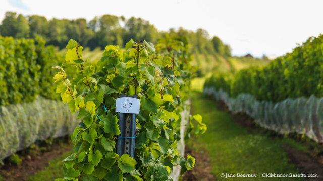 Winery Lawsuit - Vineyard on Old Mission Peninsula   Jane Boursaw Photo