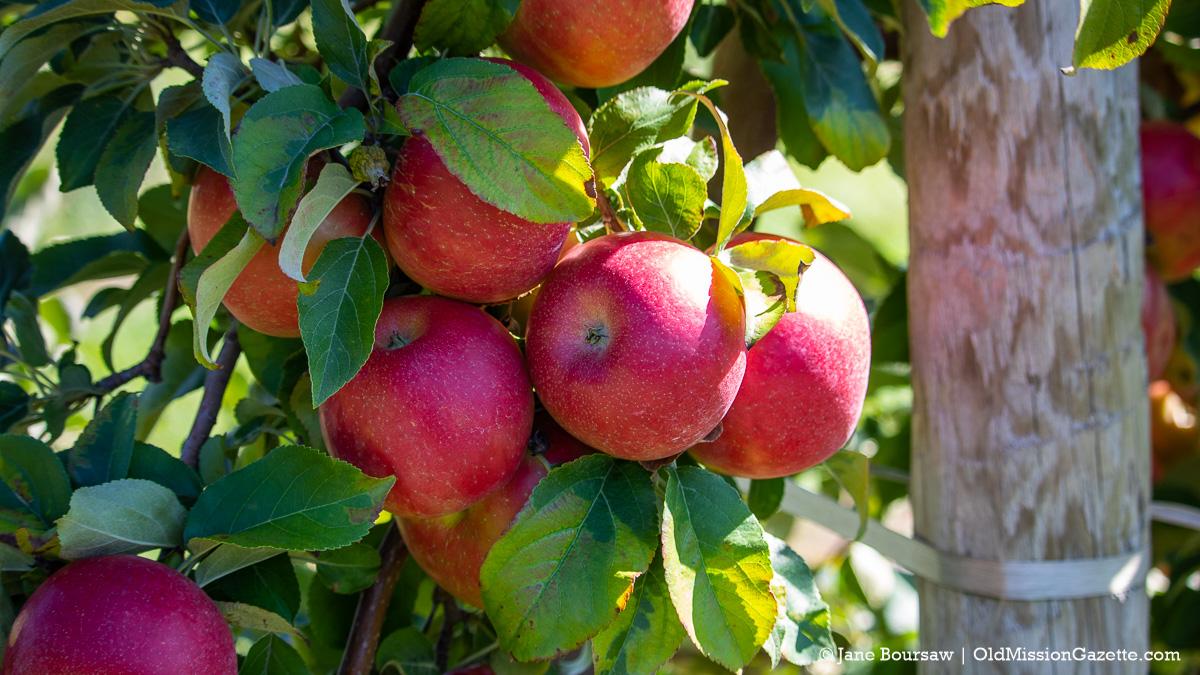 Honeycrisp apples on Ward Johnson's farm on the Old Mission Peninsula | Jane Boursaw Photo